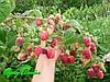 Новые сорта малины