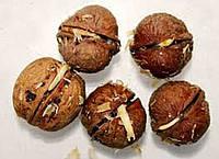 Посадочный материал грецкого ореха Полтавский гроновой