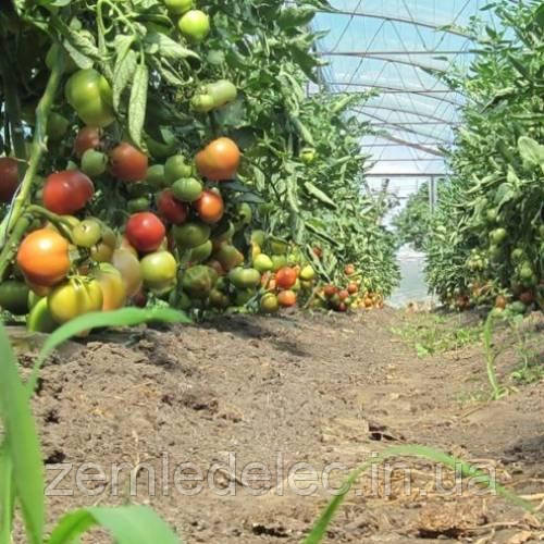 Торбей томат 10 шт. Леда Агро