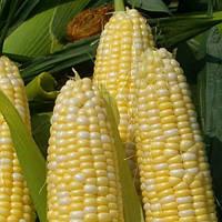 Брусниця кукурудза сах. 500 гр. Насіння України