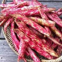 Борлотто фасоль кустовая 20 гр. вьющаяся Семена Украины