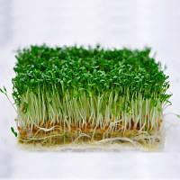 Ажур кресс-салат 1 гр. Семена Украины