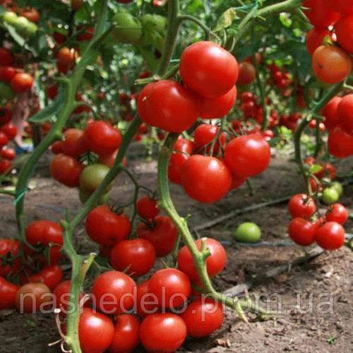 Джина томат 0,2 р. Семена України