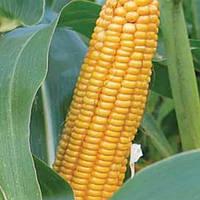 Любава 279 МВ кукурудза корм. 0,5 кг. Насіння України