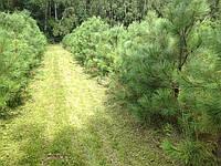 Сосна Орегонская (желтая) Pinus ponderosa