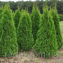 Туя западная Смарагд 85-95 см ком земли  (Thuja occidentalis Smaragd )