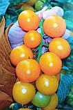 Семена томата KS-1549 F1  (100 сем.) Kitano, фото 2