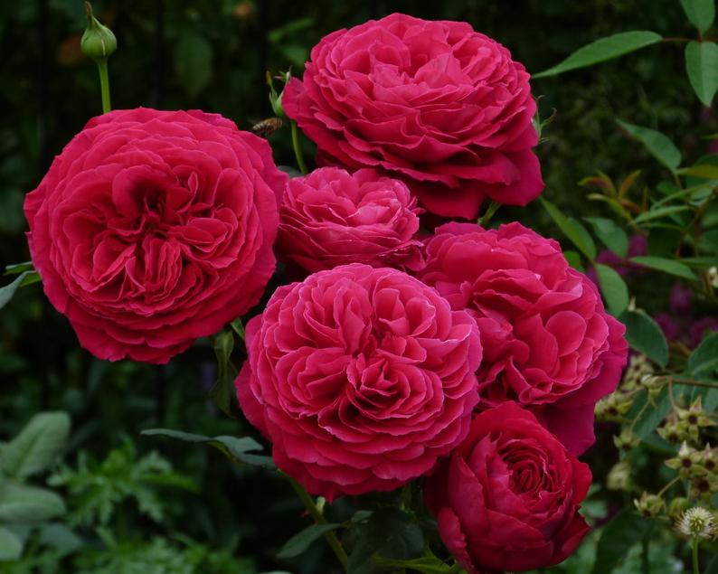 Роза чайно-гибридная Госпель