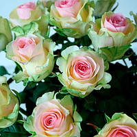 Роза чайно-гибридная Дансинг Квин
