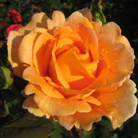 """Роза чайно-гибридная """"Луи де Фюнес"""""""