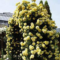 Роза плетистая Голден Ковер, фото 1
