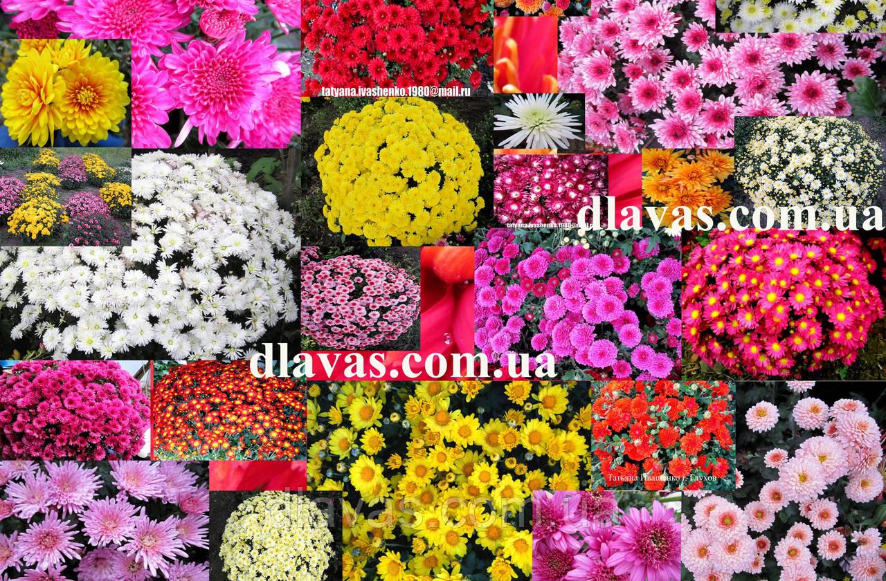 Хризантема мультифлора смесь (10 черенков)