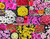 Хризантема мультифлора смесь (1 шт), фото 1