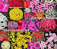 Хризантема шарообразная смесь (15 шт)
