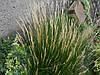 Овсяница скопария (жестковолосистая) в горшке 9х9х10см