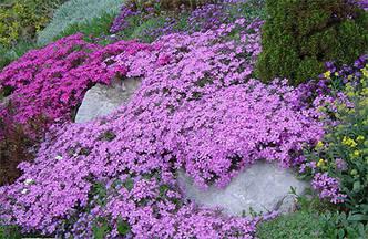 Флокс Дугласа 'Lilac Cloud' в горшке 9х9х10см