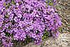 Флокс шиловидный 'Purple Beauty' в 2-литровом контейнере