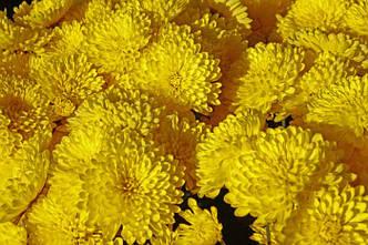 Хризантема в 2-литровом конт.