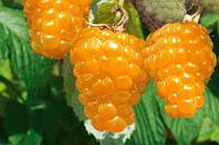 Малина Ремонтантная Золотая осень