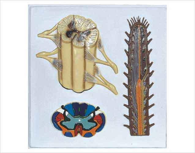 Барельєфна модель Будова спинного мозку людини