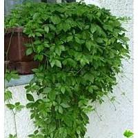 GreenWay Джиаогулан (Gynostemma pentaphyllum)