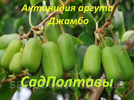 Саженцы актинидия аргута Джамбо (женская) 1летние в конт.0,5л, фото 2