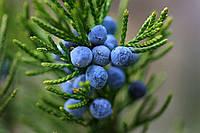 Можжевельник обыкновенный семена на посадку (в упаковке 30 шт  ягод)