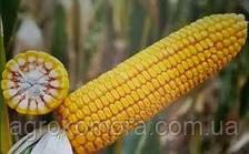 Кремінь 200-СВ кукурудза зернова 80 тис.нас (Рост Агро)