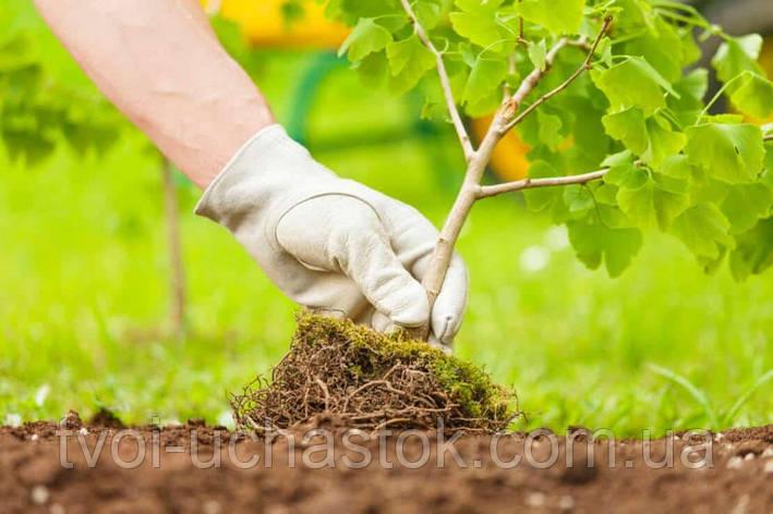 Посадка деревьев, фото 2
