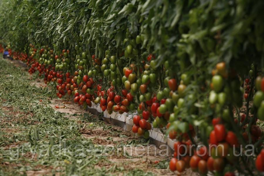Томат Эльза F1 Lark Seeds 1000 семян
