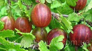 Саженцы крыжовника Сварог (урожайность: 5-6 кг с 1 куста, высота до 1.2 метра, вес плода 4.5-6 грамм)