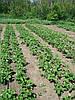 Рекомендации по выращиванию земляники садовой.