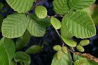 ОЛЬХА ЯПОНСКАЯ (Alnus Japonica), фото 1