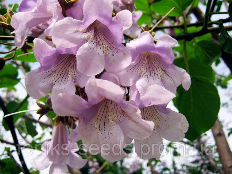 Семена Павловния или Царское дерево