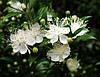 МИРТ (Myrtus) - укоренённый черенок