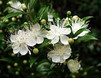 МИРТ (Myrtus) - укоренённый черенок , фото 1