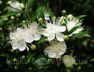 Мирт - растение 20-25 см