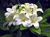 МУРРАЙЯ МЕТЕЛЬЧАТАЯ - ДЕРЕВО ЯПОНСКИХ ИМПЕРАТОРОВ (Murraya paniculata) - сеянец