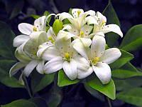 МУРРАЙЯ МЕТЕЛЬЧАТАЯ - ДЕРЕВО ЯПОНСКИХ ИМПЕРАТОРОВ (Murraya paniculata) - сеянец , фото 1