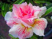 "АДЕНИУМ - РОЗА ПУСТЫНИ ""Pinkpanter"" (ADENIUM OBESUM DESERT ROSE ""Pinkpanter"")"