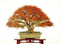 КИТАЙСКАЯ ФИСТАШКА (Pistacia chinensis), фото 1