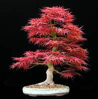 КРАСНЫЙ КЛЕН (Acer rubrum)