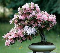САКУРА (Prunus serrulata), фото 1