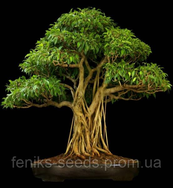 Семена Дерево Бодхи - Священный Фикус