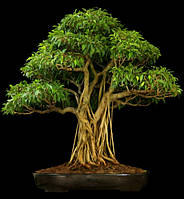 СВЯЩЕННЫЙ ФИКУС - ДЕРЕВО БОДХИ (Ficus religiosa), фото 1
