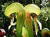 ДАРЛИНГТОНИЯ (Darlingtonia californica - Cobra lily plant)