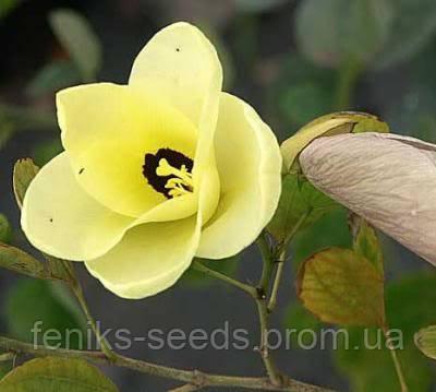 Семена Баухиния желтая
