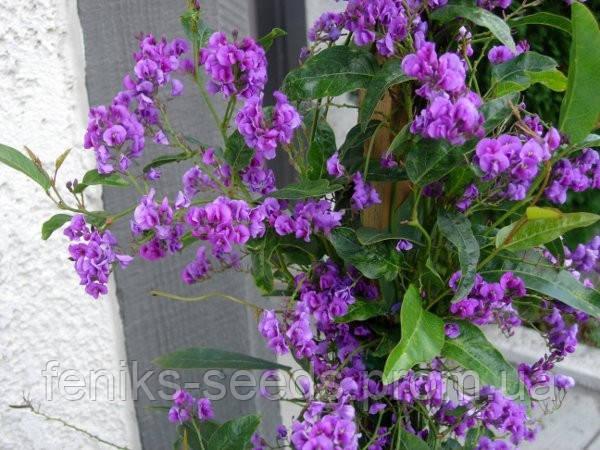 Семена Глициния Дикая пурпурная