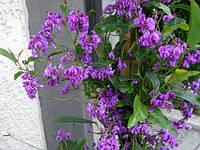 ГЛИЦИНИЯ ДИКАЯ ПУРПУРНАЯ (Hardenbergia Comptoniana)