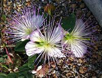КАПЕРСЫ - СЪЕДОБНЫЕ ЦВЕТЫ (Capparis spinosa var. inermis), фото 1